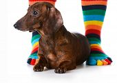 dog sitting with owner - cute dachshund puppy sitting between owners feet on white background