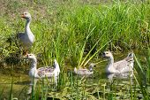 Four Geese In Swamp