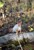 stock photo of walnut-tree  - A red squirrel perched in a tree eating a walnut.