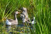 Group Of Geese In Water