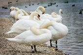 Group Of Swans On Lake Shore