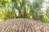 Bamboo grove in backlight