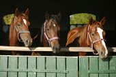 Nice Thoroughbred Foals Looking Over The Stable Door
