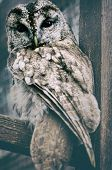 picture of nocturnal animal  - Wild owl closeup - JPG