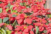 Colorful Poinsettia Flower