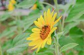 Closeup Sunflower Single