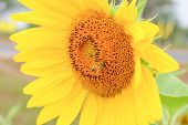 Closeup Sunflower Single And Bee
