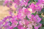 Paper Flowers Or Bougainvillea