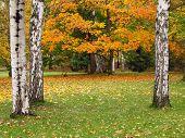 birches in the park in autumn