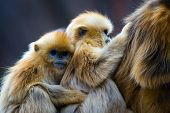 stock photo of lice  - Two little golden monkeys hug together - JPG