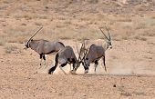 Gemsbok (oryx) Antelope Fight