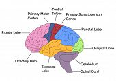 stock photo of frontal lobe  - Vector illustration of labelled different parts of brain - JPG