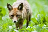 image of sneak  - The fox sneaks in the green grass - JPG