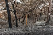 Australian forest after the serious bushfire