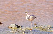 Bolivia, Antiplano, Laguna Colorada - flamingo