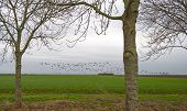 picture of geese flying  - Flock of geese flying over a field in winter - JPG