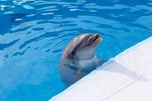 stock photo of porpoise  - head a dolphin on background of the swimming pool water - JPG