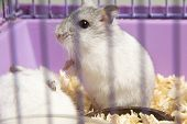 picture of hamster  - the hamster is sitting in a cage  - JPG
