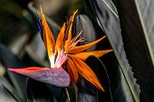 picture of bird paradise  - Bird of Paradise flower at the butterfly dome in Bannerghatta - JPG