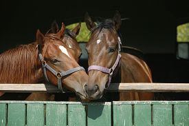 stock photo of colt  - Beautiful thoroughbred horses at the barn door - JPG