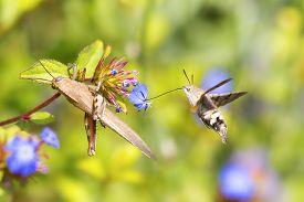 stock photo of hummingbirds  - Flying hummingbird hawk - JPG