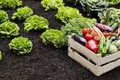 foto of cultivation  - Vegetables cultivation Box full of assorted vegetables in field - JPG
