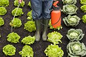 picture of water cabbage  - Farmer spraying field of vegetables cabbages and assorted types of lettuces - JPG