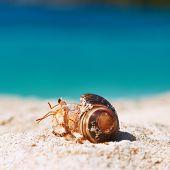 picture of hermit  - Hermit crab on beach at Seychelles - JPG