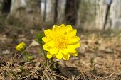 foto of rare flowers  - Adonis rare flower growing in our woods - JPG