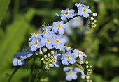 stock photo of forget me not  - Water Forget me not  - JPG