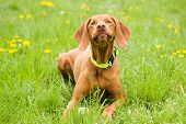 picture of vizsla  - The Hungarian Vizsla resting in the grass in the meadow - JPG