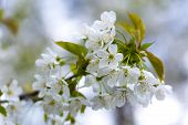 image of tree-flower  - Beautiful white flowers of cherry tree. Close up of fruit tree branch with flowers. ** Note: Shallow depth of field - JPG