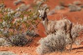 foto of desert animal  - Desert Big Horn Sheep in Nevada Mojave Desert