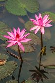 foto of water lily  - Beautiful pink water lily closeup - JPG