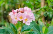 stock photo of plumeria flower  - Bunch of pink Frangipani Frangipanni or plumeria tropical flowers - JPG