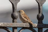 image of bird fence  - Portrait of sparrow on the iron fence - JPG