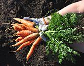 Frische junge Karotte auf Händen