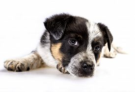image of heeler  - Cute Texas Blue Heeler (a cross breed of Australian Cattle Dog and 