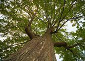 Crown Of An Old Oak