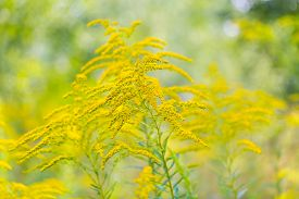 stock photo of goldenrod  - Beautiful yellow goldenrod flowers blooming. Beautiful flowers of autumn.