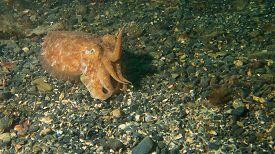 stock photo of cuttlefish  - Small Cuttlefish raises it