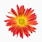 Постер, плакат: Vibrant Red Rover Chrysanthemum On White