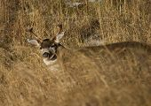 stock photo of blacktail  - Blacktail deer buck that is behind some tall grass - JPG