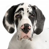 picture of great dane  - portrait of a young great dane harlequin in front of white background - JPG