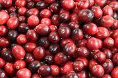 Cranberry Background