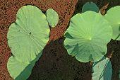 Lotus Leaves In Pond
