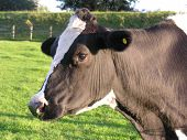 Friesian Cow (Head & Shoulders)
