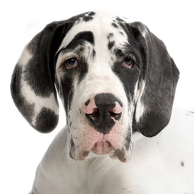 pic of great dane  - portrait of a young great dane harlequin in front of white background