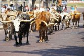 pic of texas-longhorn  - Longhorn cattle are walked on a Texas street - JPG