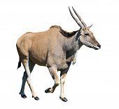 Eland Antelope Isolated Over White Background